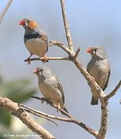 three_wild_zebras - powi�ksz